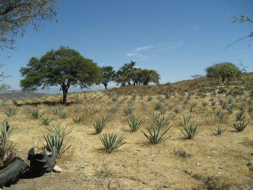 Paseo por Mexico Agaves de Mezcal en Ahuatlán