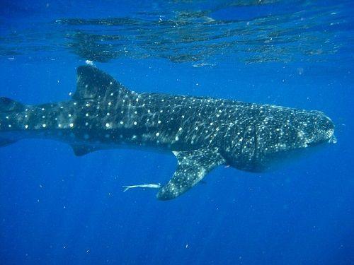 Paseo por Mexico Tiburón ballena en Isla Mujeres